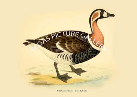 Fine art print of the Red-Breasted Goose  - Anser Ruficollis by Beverley Robinson Morris (1855)